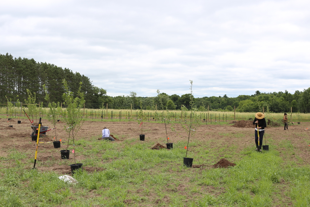 Nina, Sarah and Lindsay lend their skills to the effort as we plant a variety of apple, plum and cherry trees in the North Field. Within two days, we went from 0 to 50+ trees and bushes!