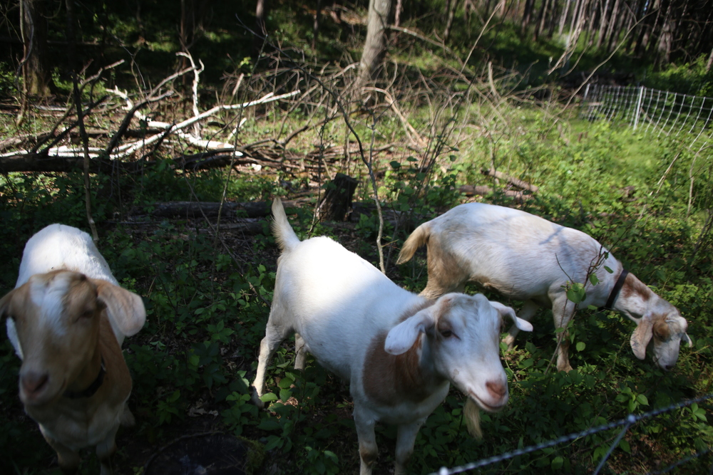 The Three Stooges (left to right): Larry, Moe and Curly step up to the electric fence to greet every visitor who makes the trek into the woods. On a tour, our visitors are taught about how we use goats to quell the overgrowth of aggressive plants like poison ivy, buckthorn and prickly-ash in the pine forest.
