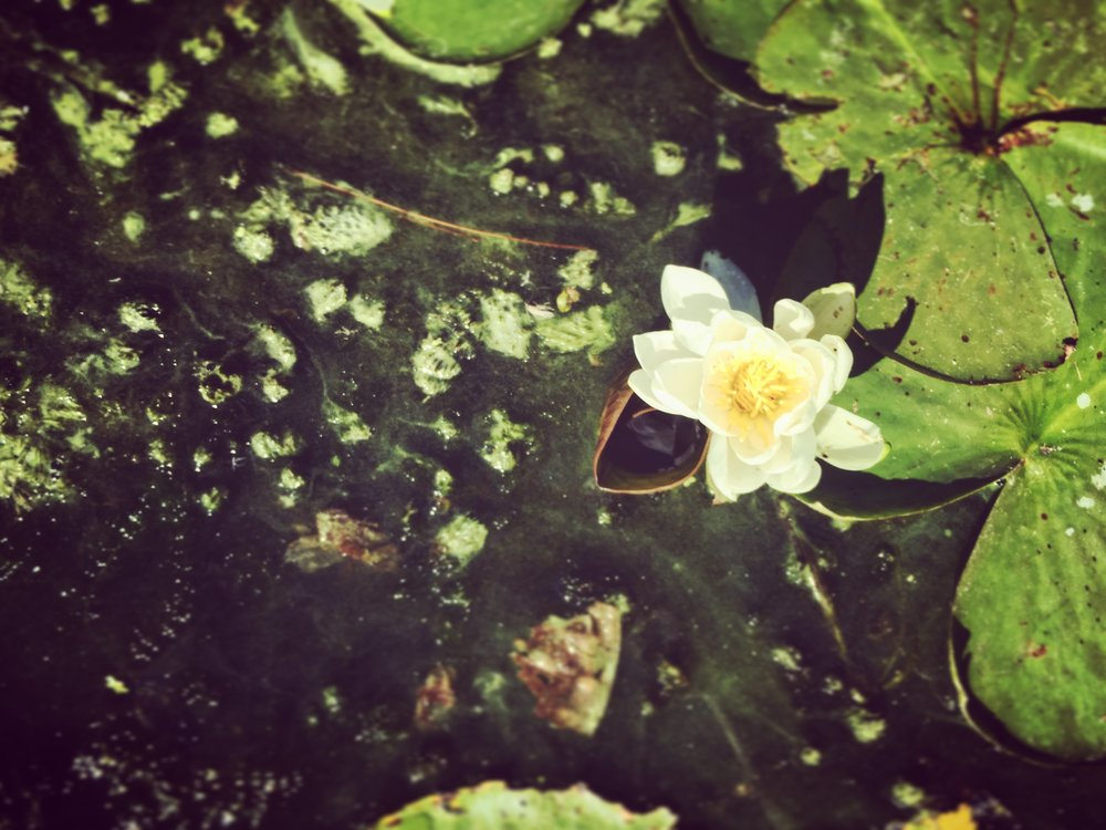 A white lily floats on the surface of Mud Lake, reminding us all that from the murky depths of the mud emerges the immaculate beauty we all have within.