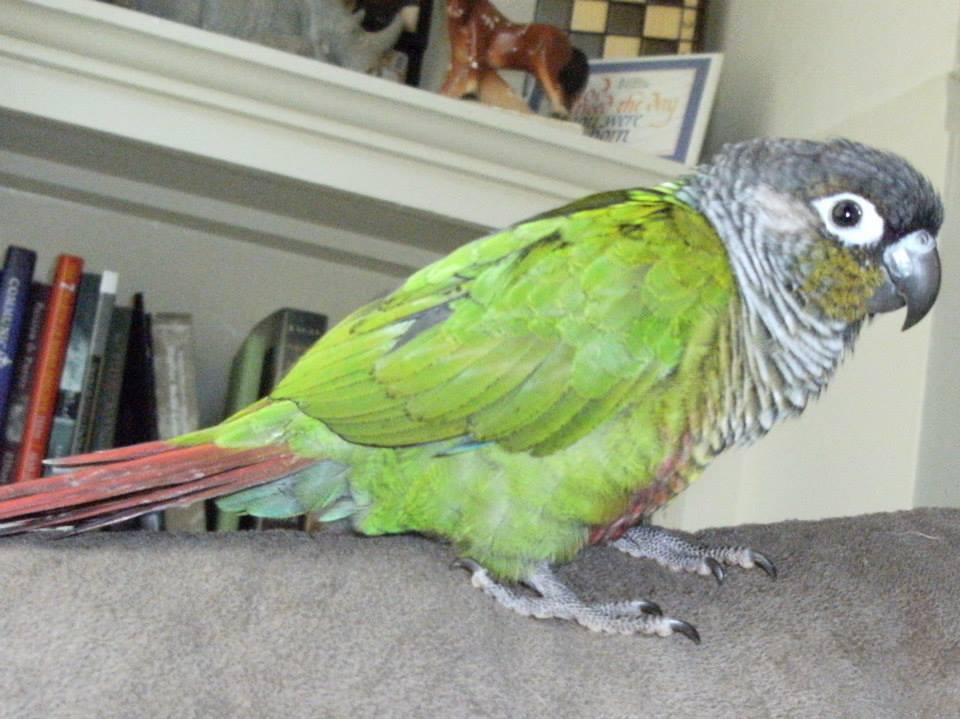 Flick demonstrates another view of a normal Green Cheeked Conure