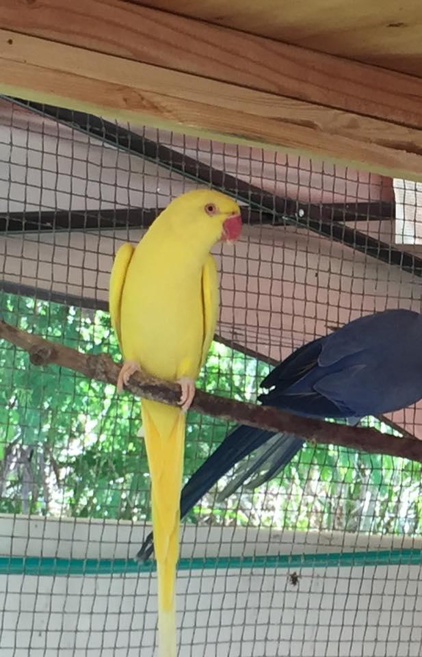 Hanalei, a mature lutino IRN hen, photo courtesy of Paradise Birds Aviary.
