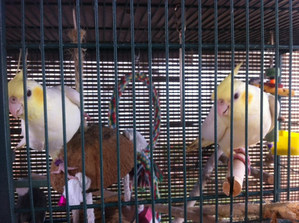 These lovely sisters are Lutino cockatiels. They also happen to be pastelface making their cheek patches lighter but that is a different mutation that will be discussed later. Neither of their parents is visual lutino but because the father is split lutino when he passes that gene on to his daughters they are visual because females only require one copy of the gene to be visual.