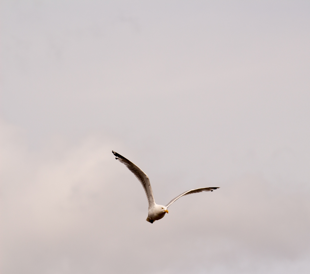 Seagull flying over St. John's, Newfoundland.