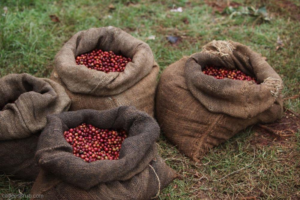 kenya coffee cherries.jpg