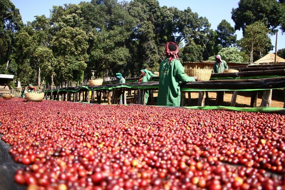 Processing-Natural-Coffees-at-Hambela-2-1024x683.jpg