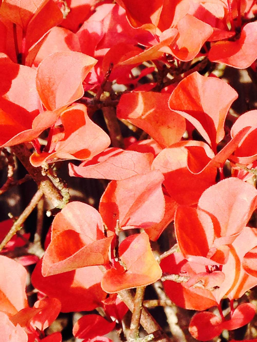 Red leaves 2.jpg