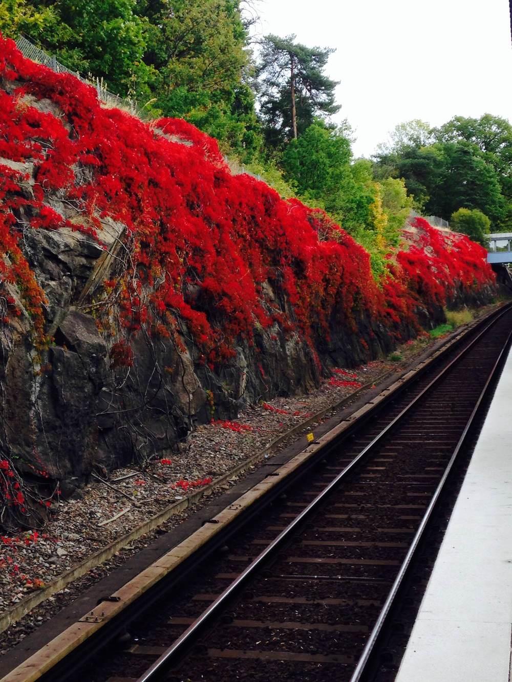 Red vines.jpg