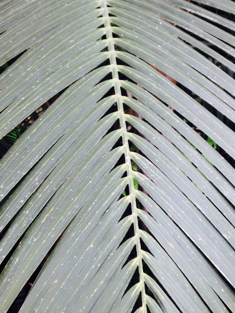 Palm fronds thin.JPG