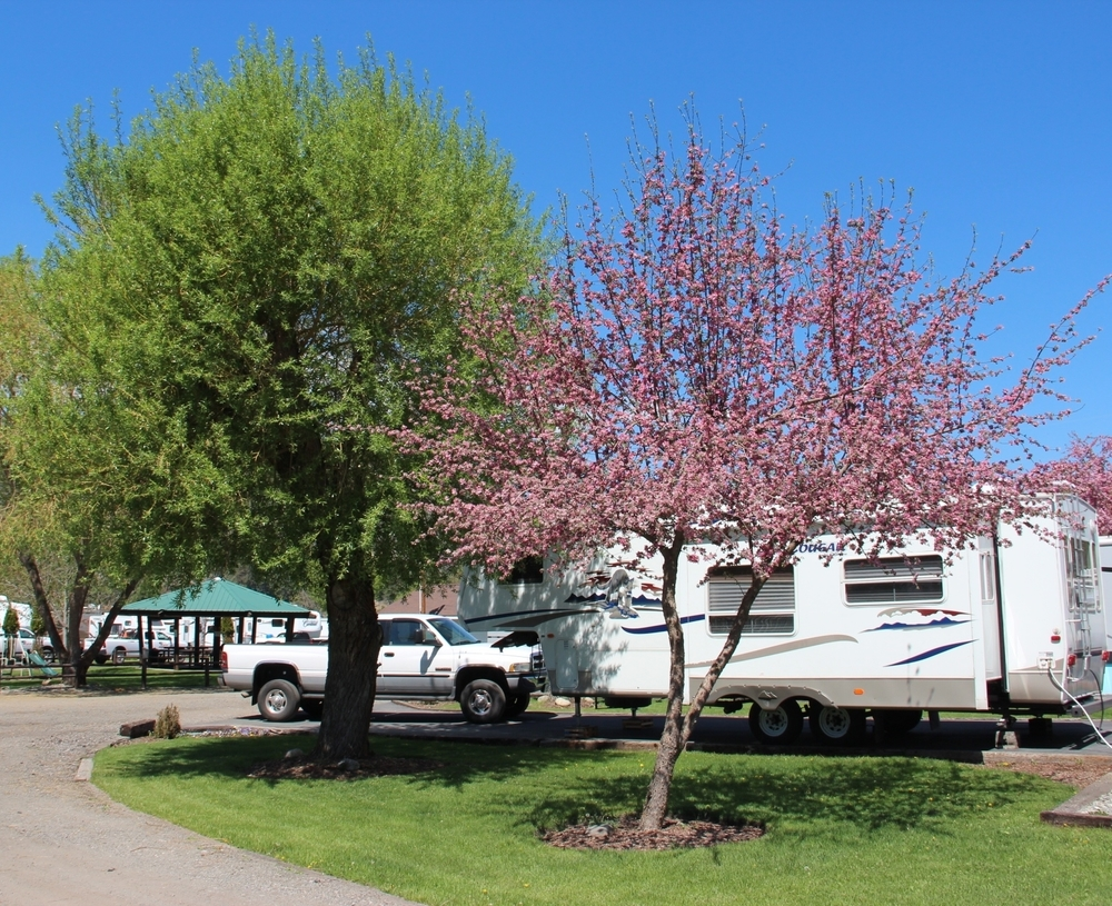 RV site - crab apple tree in bloom.