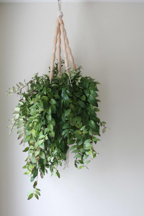 chandelier plant