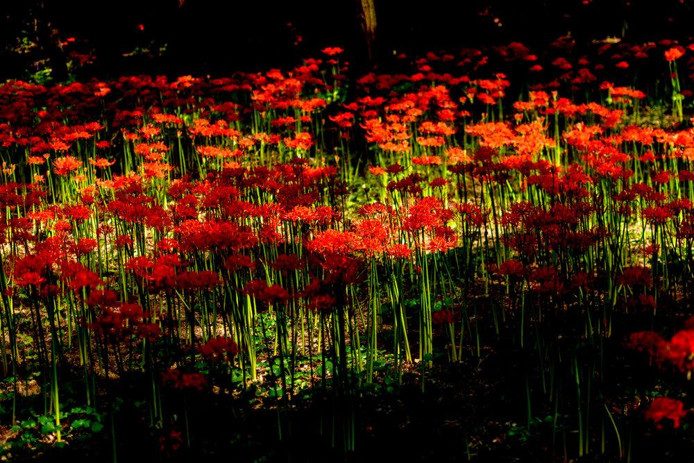 Flowers in spotty sunlight at 5.18 Memorial Park in Seo-Gu, Gwangju.