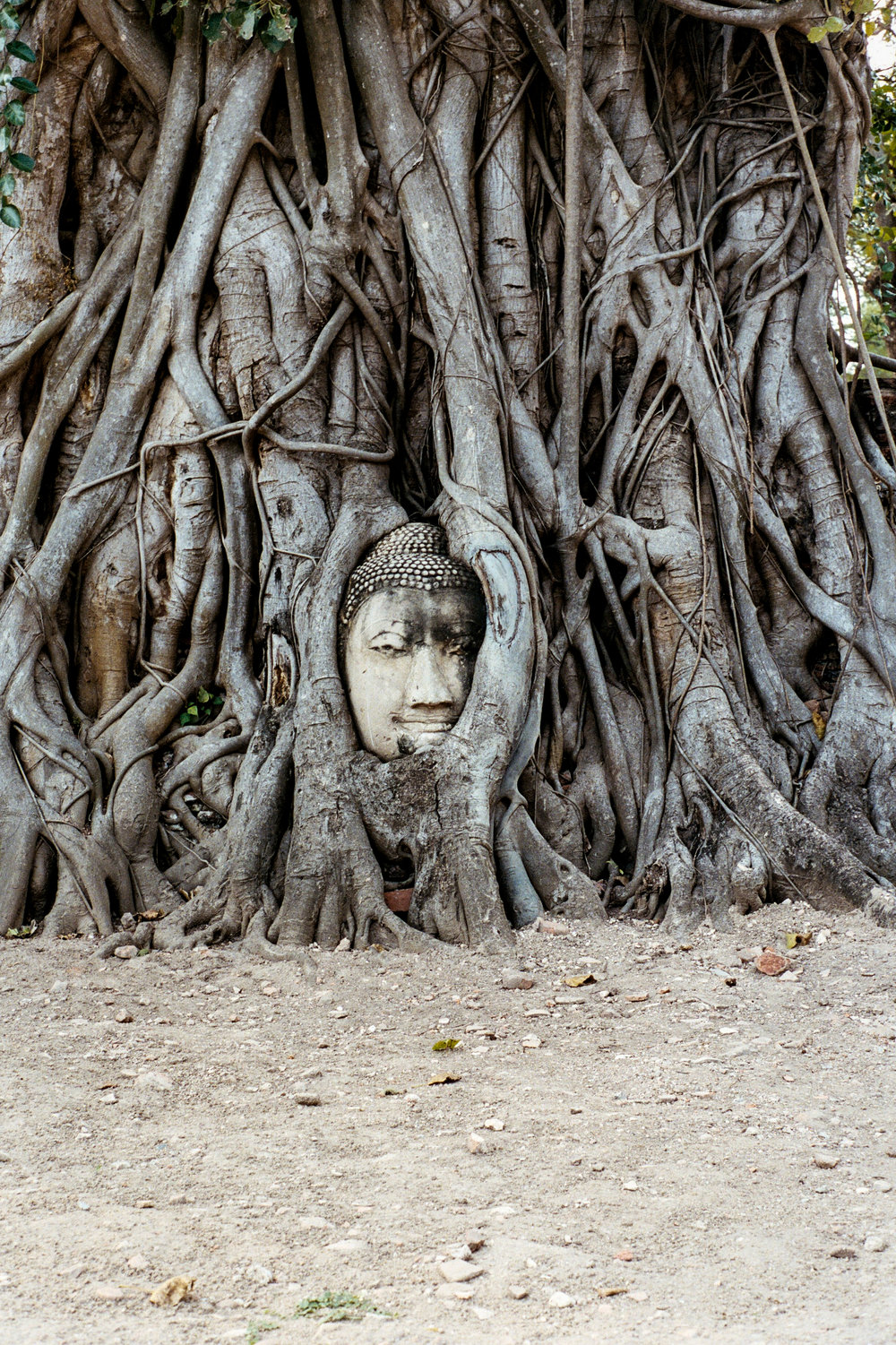 A Buddha head embedded in a tree at Wat Maha That in Ayutthaya.