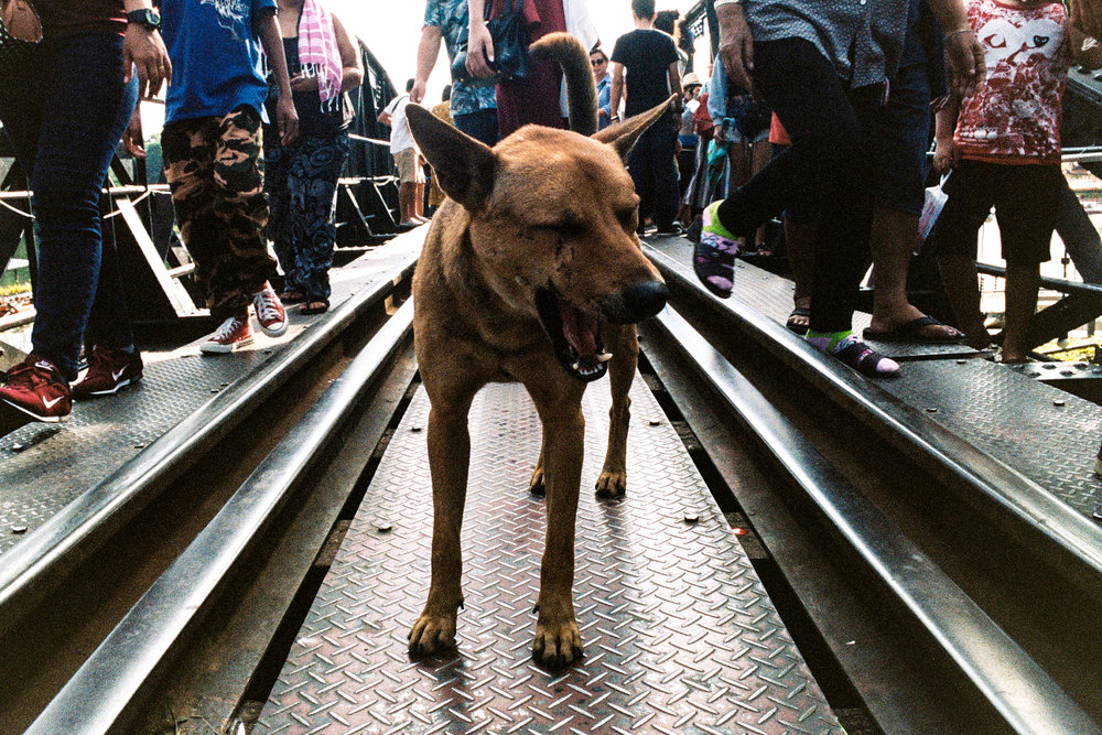 A dog yawns in the middle of the Bridge on the River Kwai. The bridge is open to pedestrians, who are quickly ushered off whenever a train approaches.