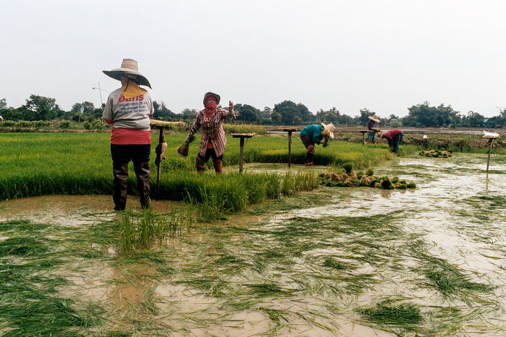 Women harvest rice seedlings in a seed bed outside Chiang Mai. Seedlings are grown in dense groups, then transplanted to a larger field where they will reach maturity.