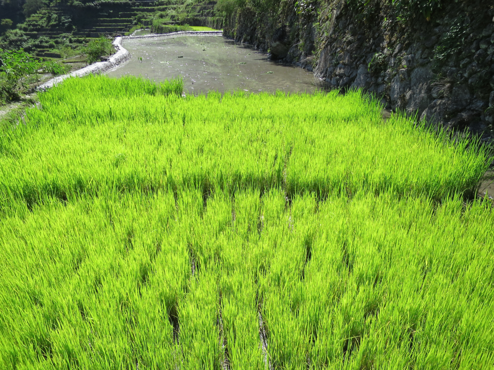 Rice nursery. Baby rice is basically fluorescent.