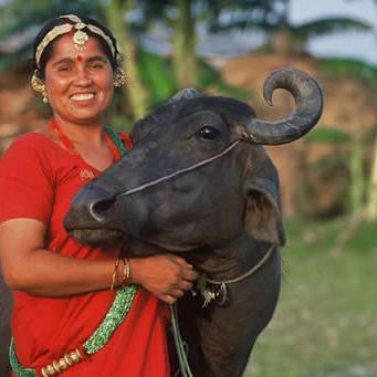 Gift a water buffalo.