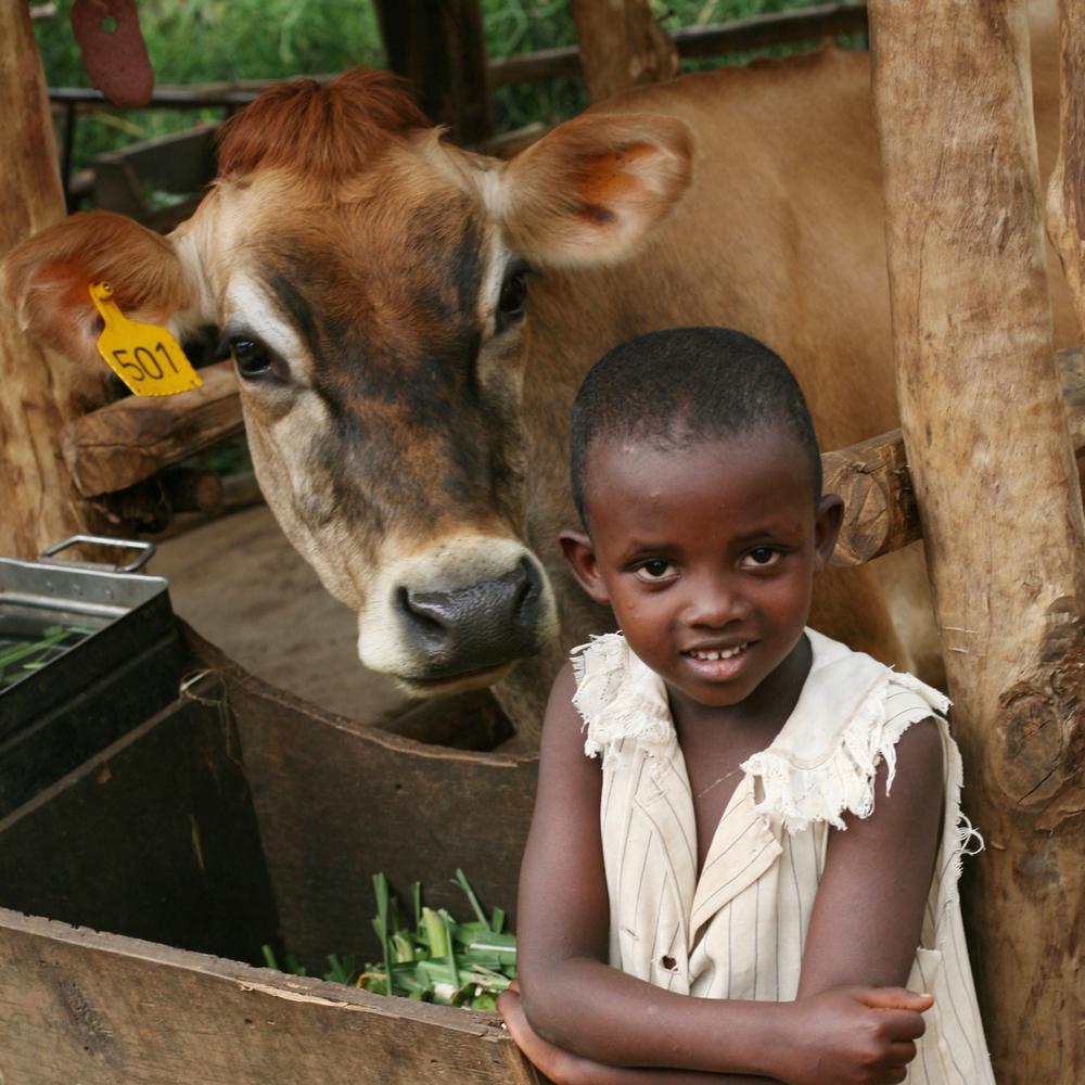 Gift a heifer.