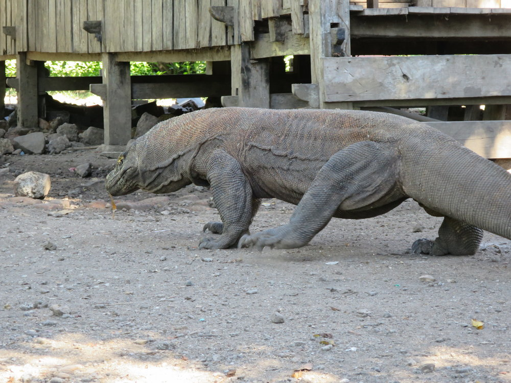 Komodo Dragons In The Wild An Adventure In Indonesia Catcoq