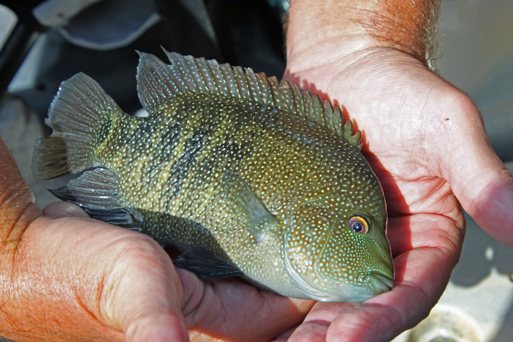 Rio Grande Perch Worden's Rooster Tail