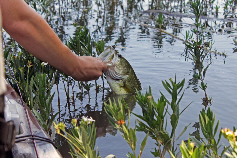 South Llano River Bass in Alligator Weeds