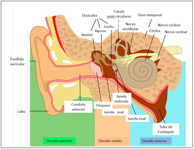 Fig. 1 - Diagrama do aparelho auditivo. Crédito de imagem: roxanabalint www.fotoserch.com.br. Direito Autoral de Uso de imagem e de Propriedade.