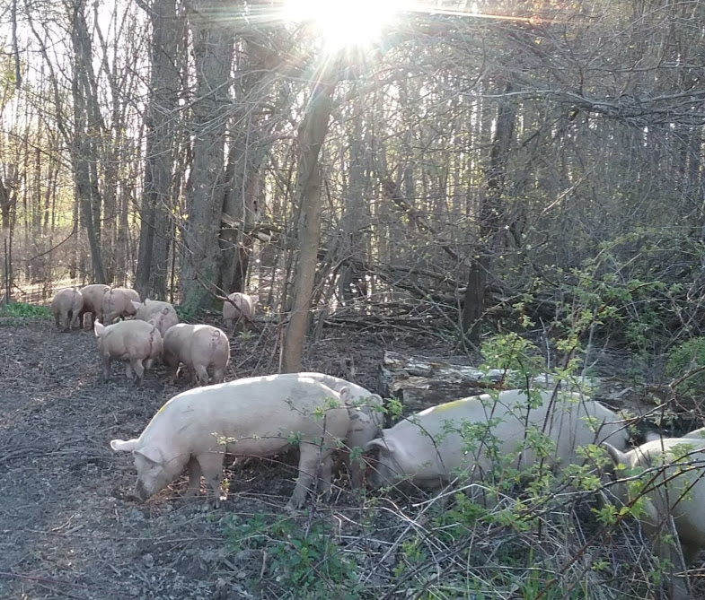 pigs in woods.jpg