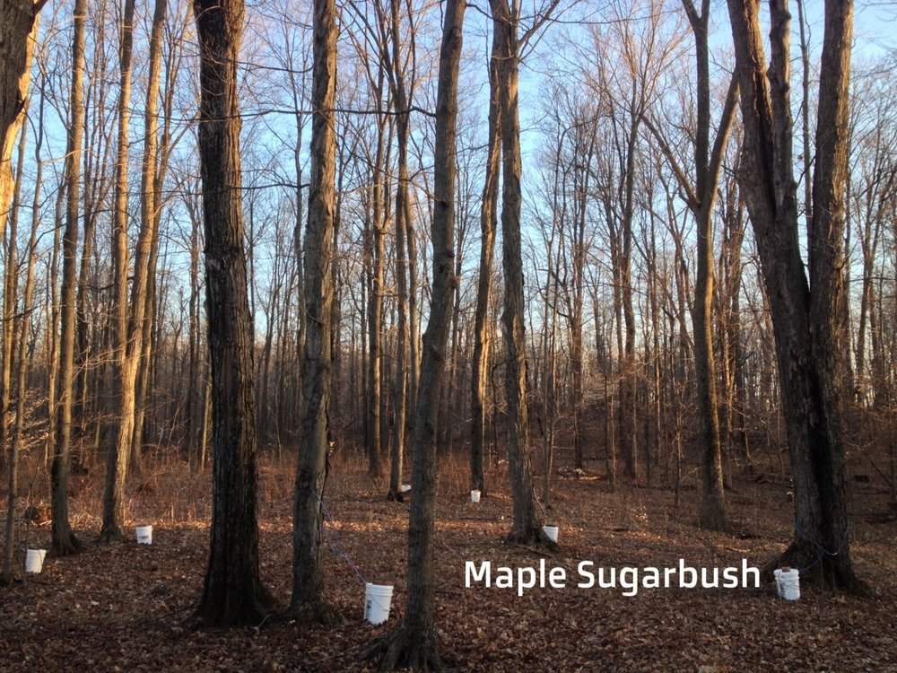 Maple Sugarbush