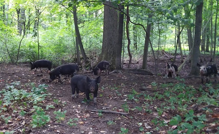 forest pigs 2.jpg