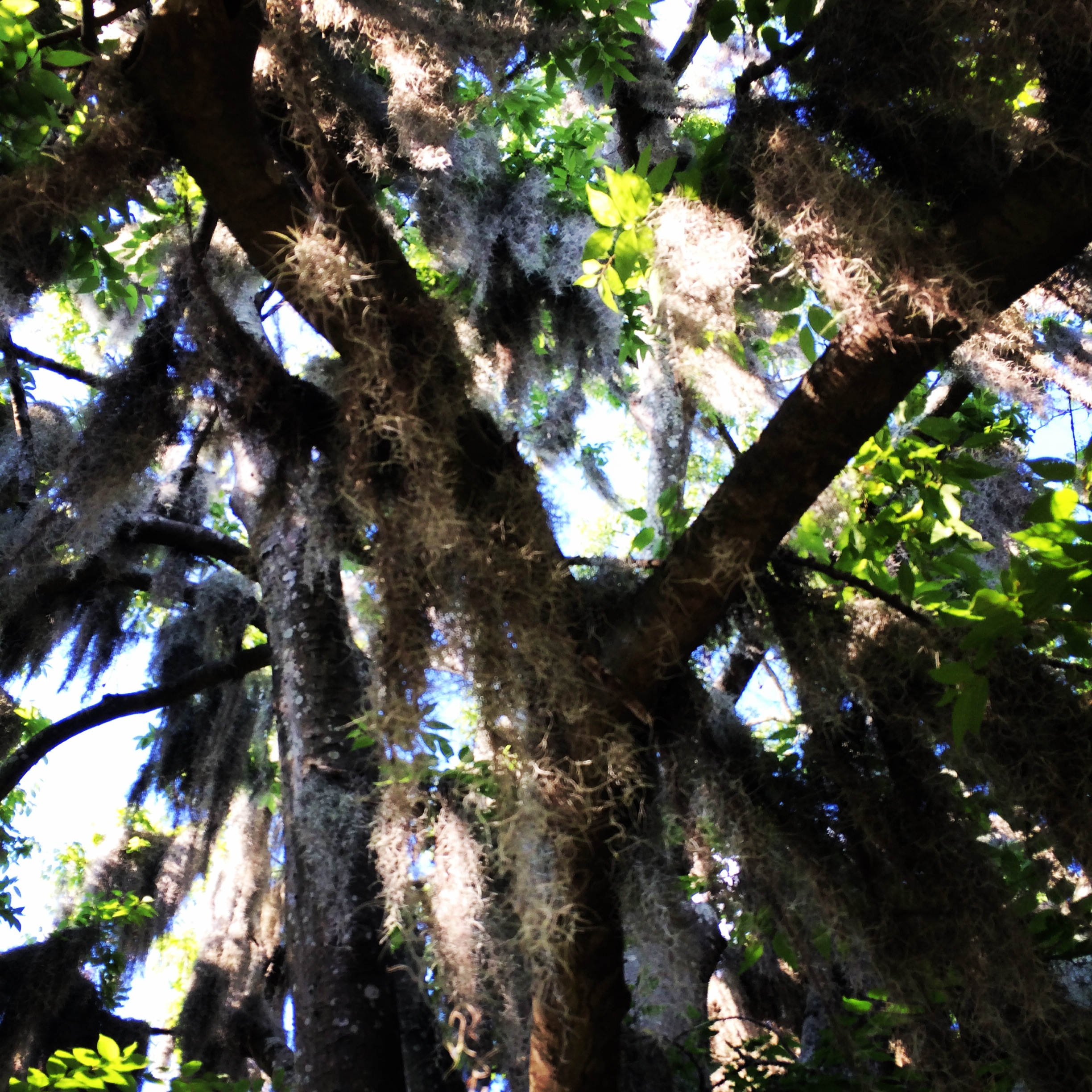 Day 3: Adventure to Savannah - Spanish Moss