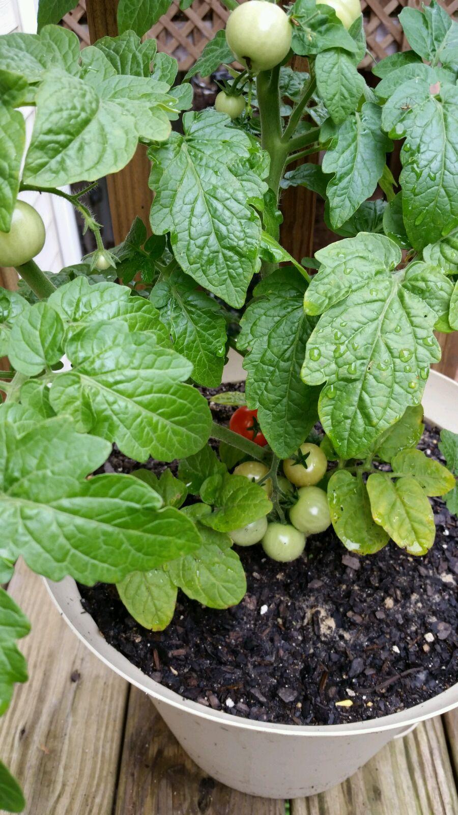 Rania's Cheery Tomatoes