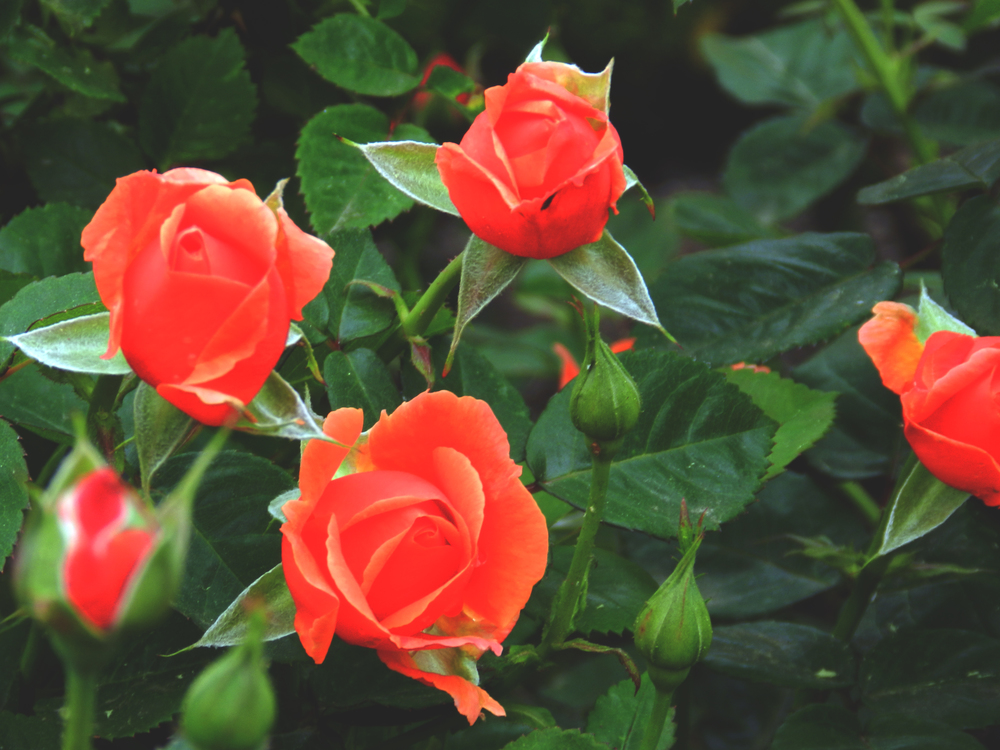 Exposed-Orange-Roses-Biltmore-Asheville.jpg