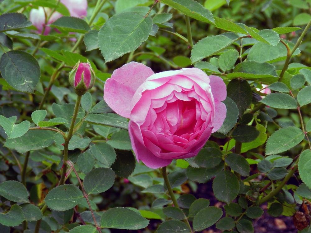 Pink-Peony-Biltmore-Asheville.jpg