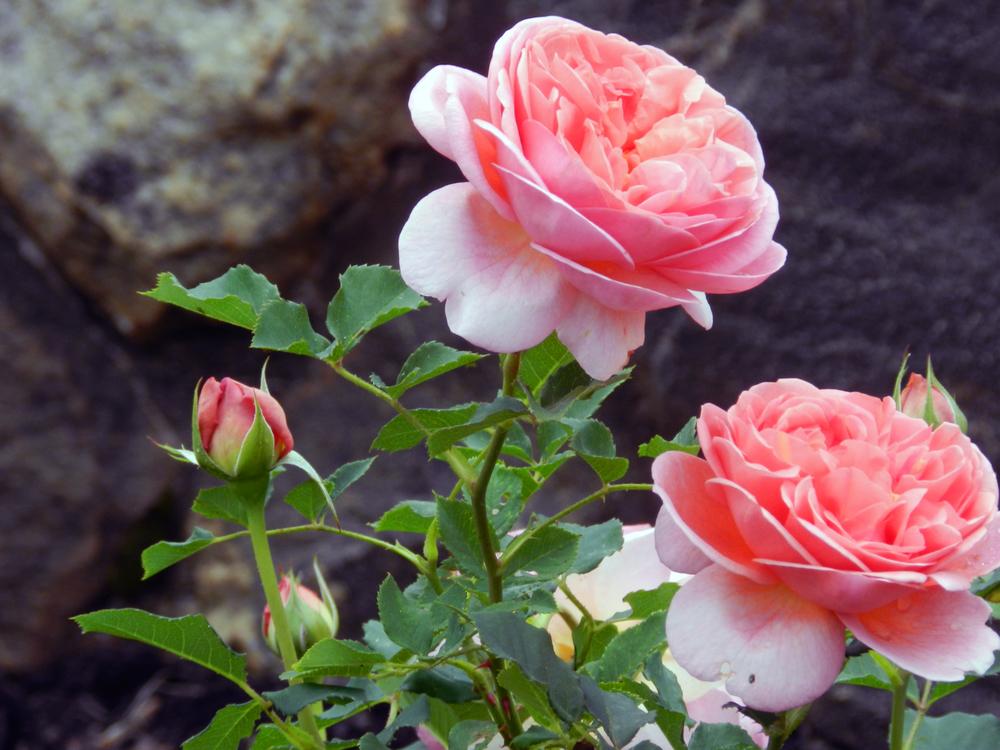 Pink-Roses-Biltmore-Asheville.jpg
