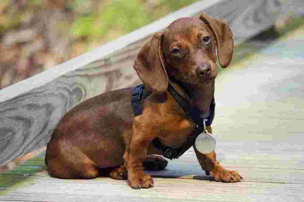 Dachshund-Puppy.jpg