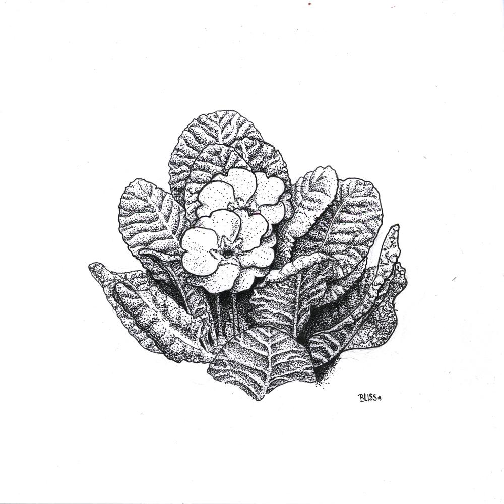 Primrose Ink Drawing