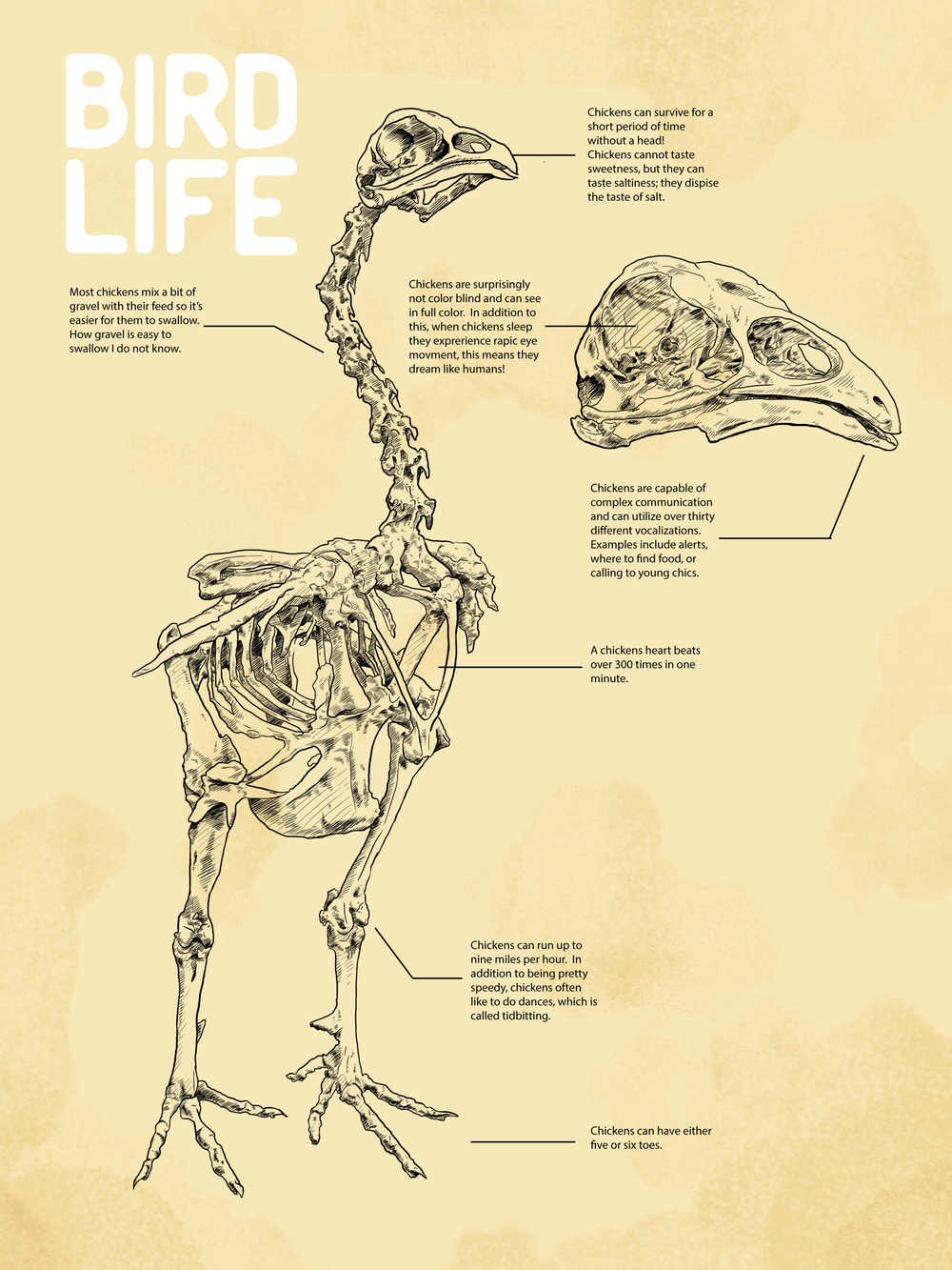 Bird Life Chicken Illustration