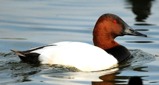canvasback_duck.jpg