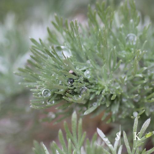 Artemisia schm. 'Nana' and Cornwall Rain