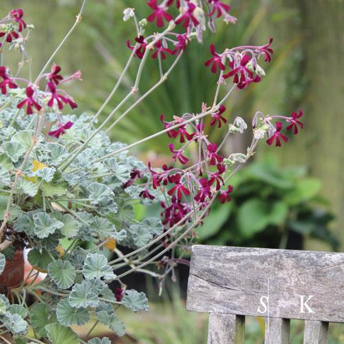 Pelargonium perching on the edge of a garden table