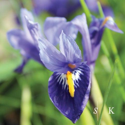 Beautiful Iris in Winter in my Cornwall Garden