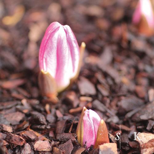 Winter Tulips Cornwall