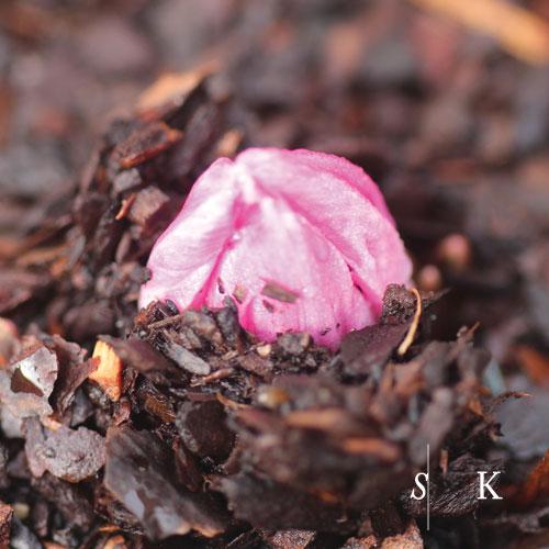 Tulipa humilis violacea