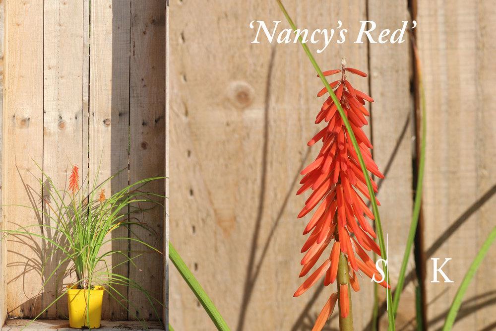 Kniphofia Nancys Red