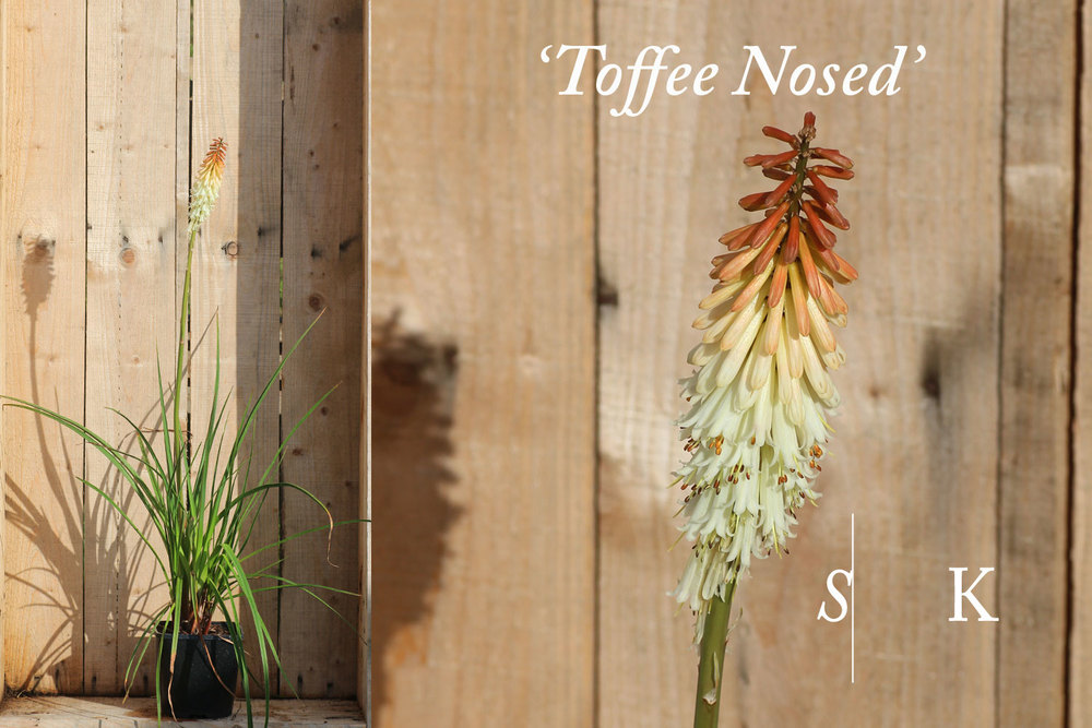 Kniphofia Toffee Nosed