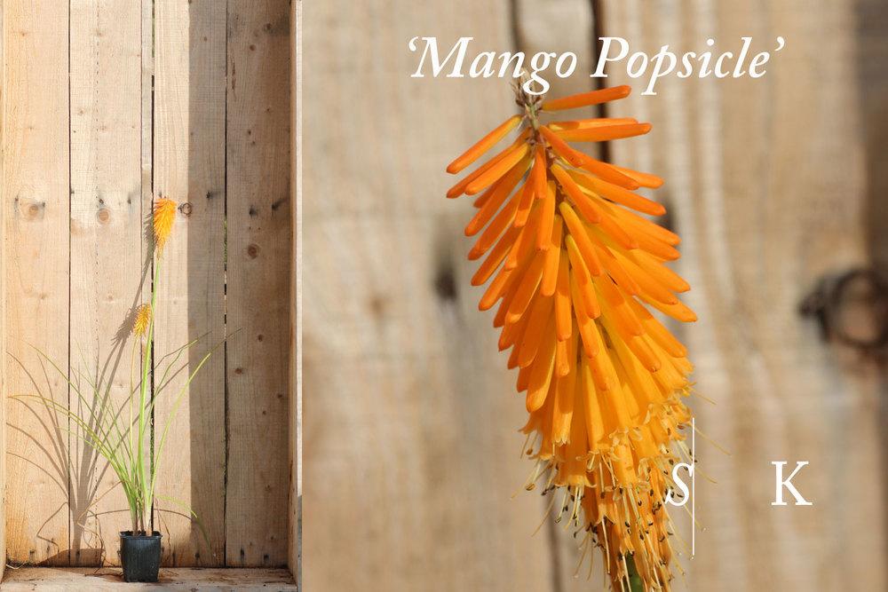 Kniphofia Mango Popsicle