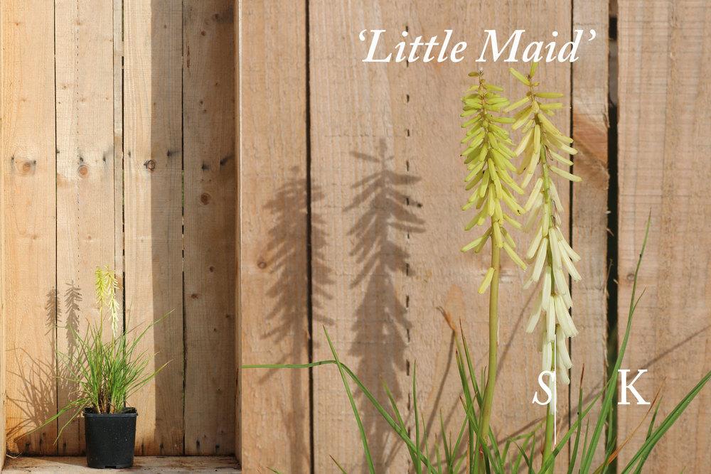 Knipgofia Little Maid