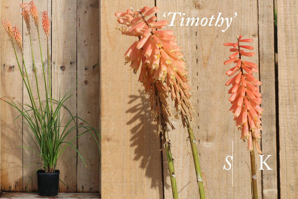 Kniphofia Timothy