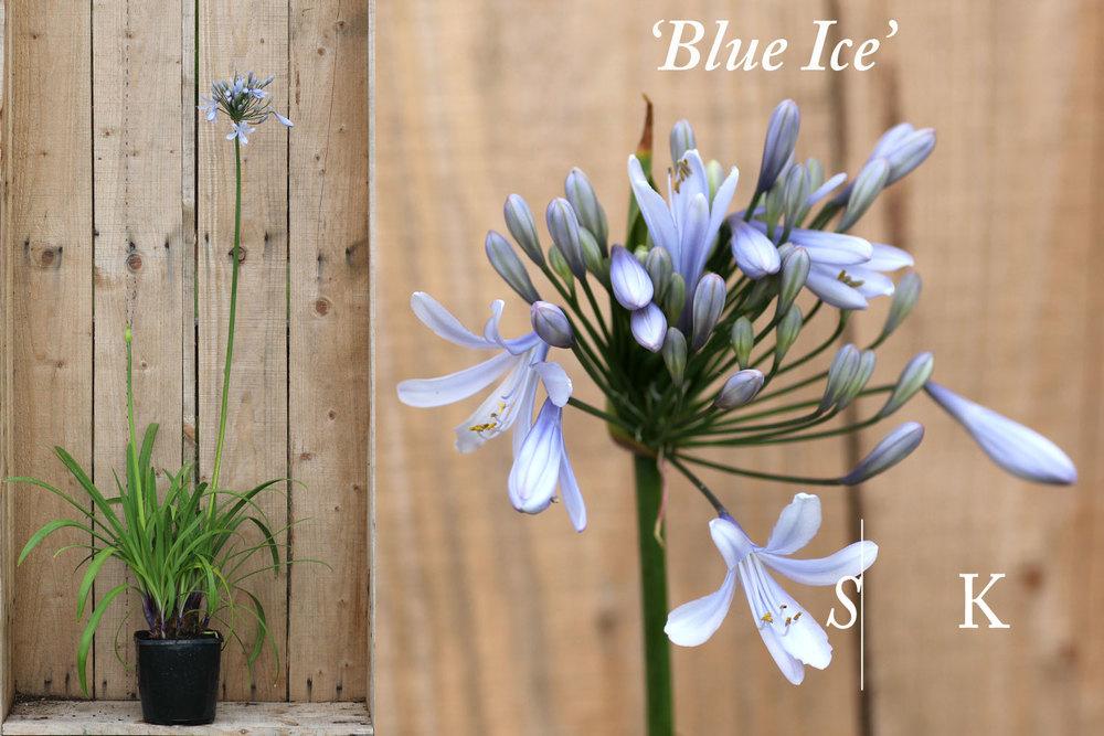Agapanthus Blue Ice