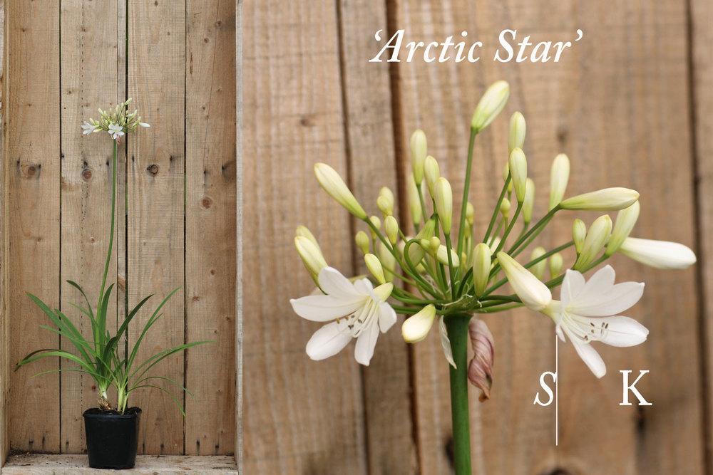 Agapanthus Arctic Star