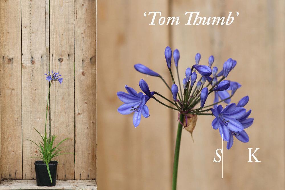 Agapanthus Tom Thumb